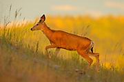 A mule deer (Odocoileus hemionus) climbs a hill in the Blue Mountains of Washington state.