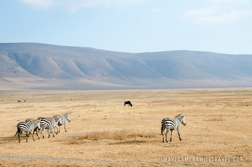 A wide shot of zebras and the crater floor at Ngorongoro Crater in the Ngorongoro Conservation Area, part of Tanzania's northern circuit of national parks and nature preserves.