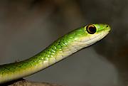 Batterby's Green Snake, Philothamnus battersbyi, from Masai Mara, Kenya.