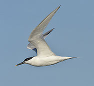Sandwich Tern - Sterna sandvichensis. L 41cm. Striking seabird with buoyant flight and distinctive call. Sexes are similar. Adult in summer has pale grey back and upperwings; dark, crested cap, and otherwise white plumage Legs are black and long, black bill is yellow-tipped. Looks very white in flight. Non-breeding plumage (seen from late summer onwards) is similar but forehead is white. Juvenile is similar to winter adult but back is barred and scaly. Voice Utters a harsh chee-urrick call. Status Locally common summer visitor and an early-returning migrant. Coastal, nesting on shingle beaches and islands.