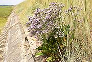 Sea-Lavender, limonium vulgare, in flower growing on flood defence wall dyke of River Deben, Sutton, Suffolk, England, UK