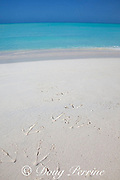 footprints of albatross, either Laysan albatross, Phoebastria immutabilis, or black-footed albatross, Phoebastria nigricans, in beach sand at Sand Island, Midway Atoll, Midway National Wildlife Refuge, Papahanaumokuakea Marine National Monument, Northwest Hawaiian Islands, USA ( North Pacific Ocean )