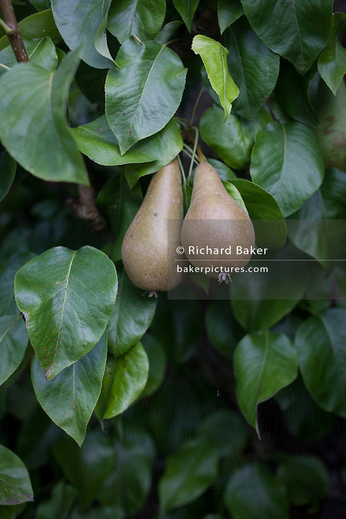 Pears growing on trees in a Somerset garden orchard.