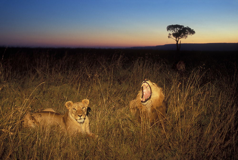 Africa, Kenya, Masai Mara Game Reserve, Adult Lion and Lioness (Panthera leo) resting in tall grass at dusk on savanna