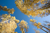 Scenic image of aspens in fall.