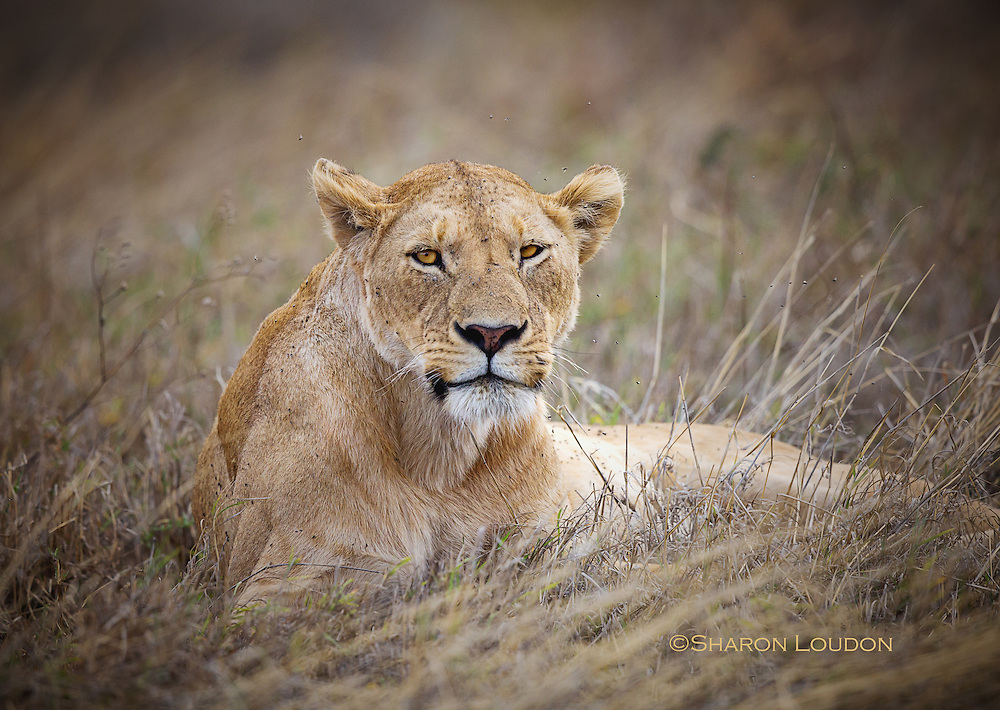 Lioness beseiged by flies, Ngorogoro Crater