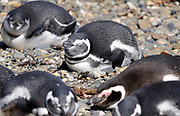 Megellanic Penguins (Spheniscus magellanicus) doze on the beach at their nesting colony at Otway Sound after a morning's fishing. Punta Arenas, Republic of Chile. 16Feb13