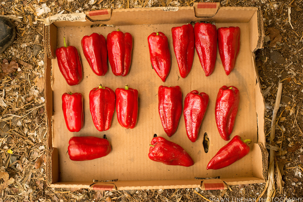 Adaptive Seeds has grown out the Gypsy peppers iinto blunted and pointed types.