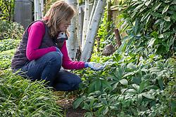 Feeding  Helleborus orientalis - hellebores - with granular fertiliser in autumn.