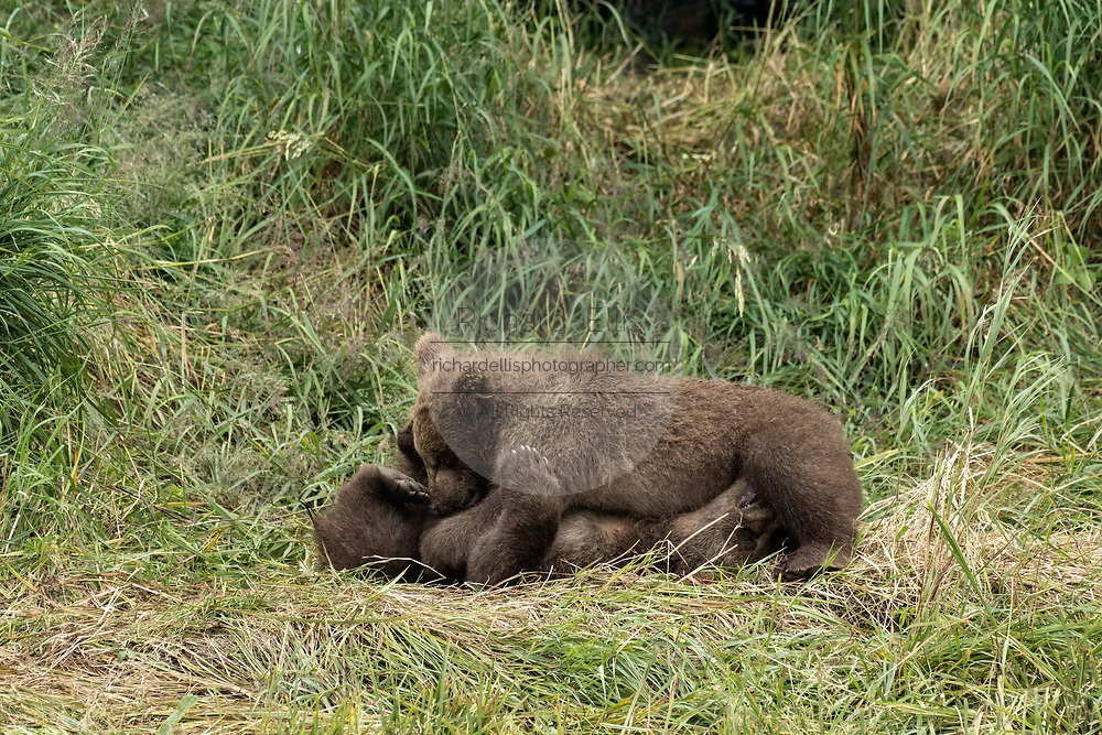 Brown bear spring cubs rest together in the grass at the McNeil River State Game Sanctuary on the Kenai Peninsula, Alaska. The remote site is accessed only with a special permit and is the world's largest seasonal population of wild brown bears in their natural environment.