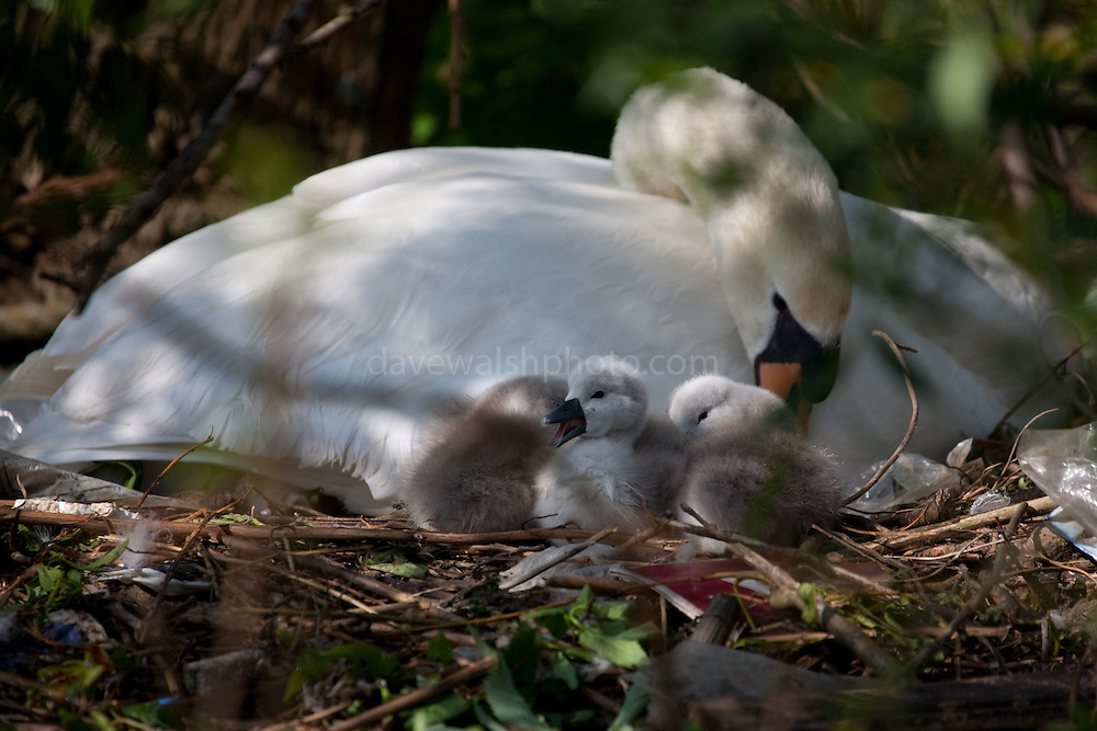 Nesting swan and signets, Amsterdam, Netherlands