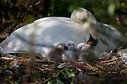 Nesting swan and signets, Amsterdam, Netherlands