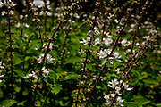 Contagem_MG, Brasil...Flor do manjeircao ceu azul na propriedade que produz e vende flores comestiveis para restaurantes e supermercados...The edible flowers, this flowers are seller in the restaurants and the supermarkets. In this photo the basil...Foto: LEO DRUMOND / NITRO