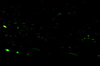 Firefly Trails [2320-2359]. Composite of image takens with a Nikon D4 camera and 200 mm f/2 VR lens (ISO 800, 200 mm, f/8, 30 sec).