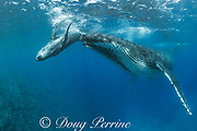 humpback whale calf, Megaptera novaeangliae, playing around the snout of its mother, near Nomuka Island, Ha'apai group, Kingdom of Tonga, South Pacific