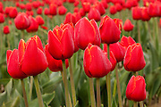 A cluster of red tulips blooms in a field in Mount Vernon, Washington. The annual Skagit Valley Tulip Festival draws more than one million visitors to check out 300 acres of cultivated tulips.
