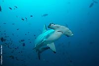 Hammerhead Shark, Darwin Island, Galapagos National Park