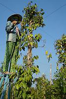 Phu Quoc Pepper Farmer