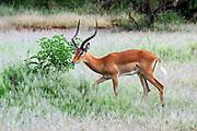 side view of a male  impala (Aepyceros melampus). Photographed in Africa, Tanzania, Lake Manyara National Park,