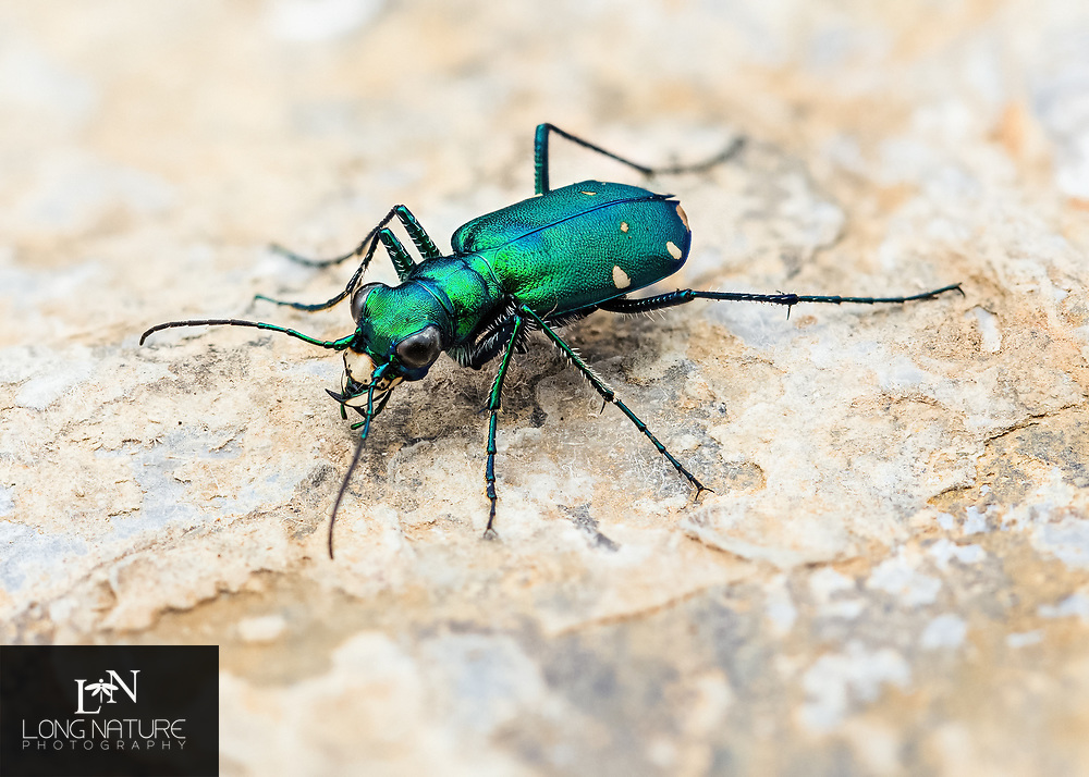 Cicindela sexguttata - Six-spotted Tiger Beetle. Photographed at Fort Mountain State Park, GA USA