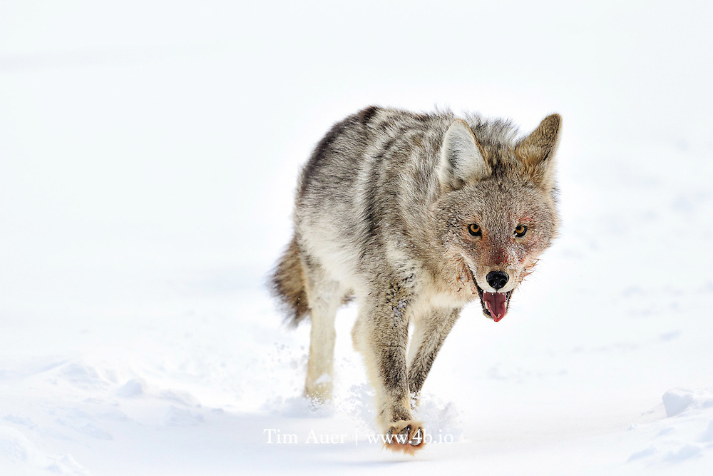 Retreating Coyote<br /> Yellowstone National Park<br /> A bloody-faced and bloody-pawed coyote distances itself from an elk carcass it was feeding on, after the surprise return of the wolf pack to their kill.  The coyote sprinted, at times through deep snow, to increase its distance from the approaching wolves, not slowing until it was a comfortable 3-4 KM away. It was exhausting to witness. I wondered if the elk meat in the coyote's belly would yield more calories than those expended escaping; and if the effort was worth the risk.  As a human experiencing this behavior, I can't help pondering the perilous existence these animals face daily. What we consider extraordinary is business as usual for the wildlife of Yellowstone.