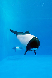 Commerson's dolphins, Cephalorhynchus commersonii (c), found only around western South Atlantic Ocean