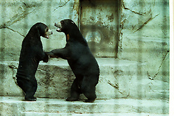 10 June 2001: Miller Park Zoo<br /> sun bear<br /> Archive slide, negative and print scans.