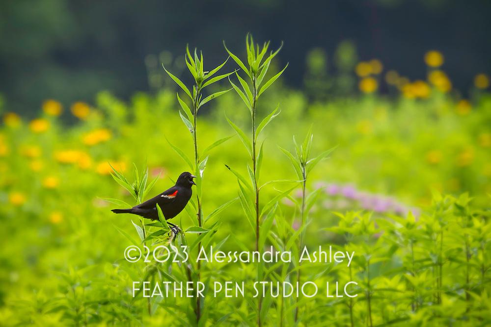 Red-winged blackbird singing among native flowering plants.  Tallgrass prairie, central Ohio.