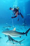 shark researcher Gary Adkison tags a Caribbean reef shark, Carcharhinus perezi, Walker's Cay, Abaco Islands, Bahamas ( Western Atlantic Ocean )