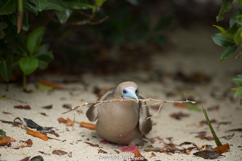 This Red Footed Booby found a cache of twigs to help build a nest.  The nest is usually built in a tree or bushes and the single egg is incubated for around 45 days.