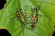 Acridid Short-horned Grasshopper (Ommatolampis perspicillata, fam. Acrididae)<br /> Yasuni National Park, Amazon Rainforest<br /> ECUADOR. South America