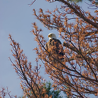Bald eagle in white pine, Lake of the Woods, Ontario, Canada.