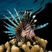 During the day lionfish generally tend to stay hiding in the reef, but around dawn and dusk they are kings of reef, swimming to the top and are often observed on the hunt.