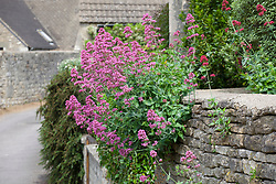 Centranthus ruber growing in a dry stone wall. Red valerian