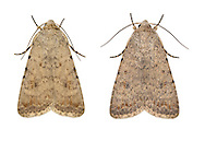 Pale Mottled Willow - Paradrina clavipalpis - 73.095 (2389)