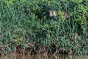 Jaguar (Panthrea onca palustris) on the banks of Cuiaba River.