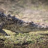 Crocodylus niloticus, Kruger National Park, South Africa