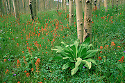 Indian Paintbrush bloom among aspens, Santa Fe National Forest, New Mexico