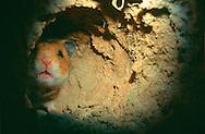 Deutschland, DEU, Cuxhaven: Ein Goldhamster (Mesocricetus auratus) schaut neugierig aus seinem unterirdischen Nest.   Germany, DEU, Cuxhaven: Golden Hamster (Mesocricetus auratus) curious looking around the corner in its subterranean course.  