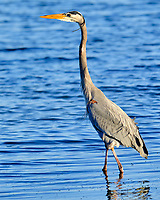 Great Blue Heron (Ardea herodias). Image taken with a Fuji X-H1 camera and 200 mm f/2 lens + 1.4x teleconverter.