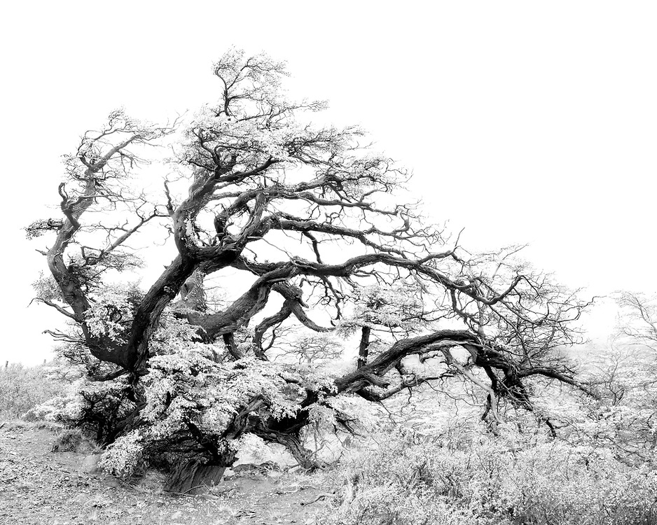 """Windblown tree in Torres del Paine National Park in Patagonian, Chile<br /> <br /> 14"""" x 11""""<br /> <br /> See Pricing page for more information.<br /> <br /> Please contact me for custom sizes and print options including canvas wraps, metal prints, assorted paper options, etc. <br /> <br /> I enjoy working with buyers to help them with all their home and commercial wall art needs."""