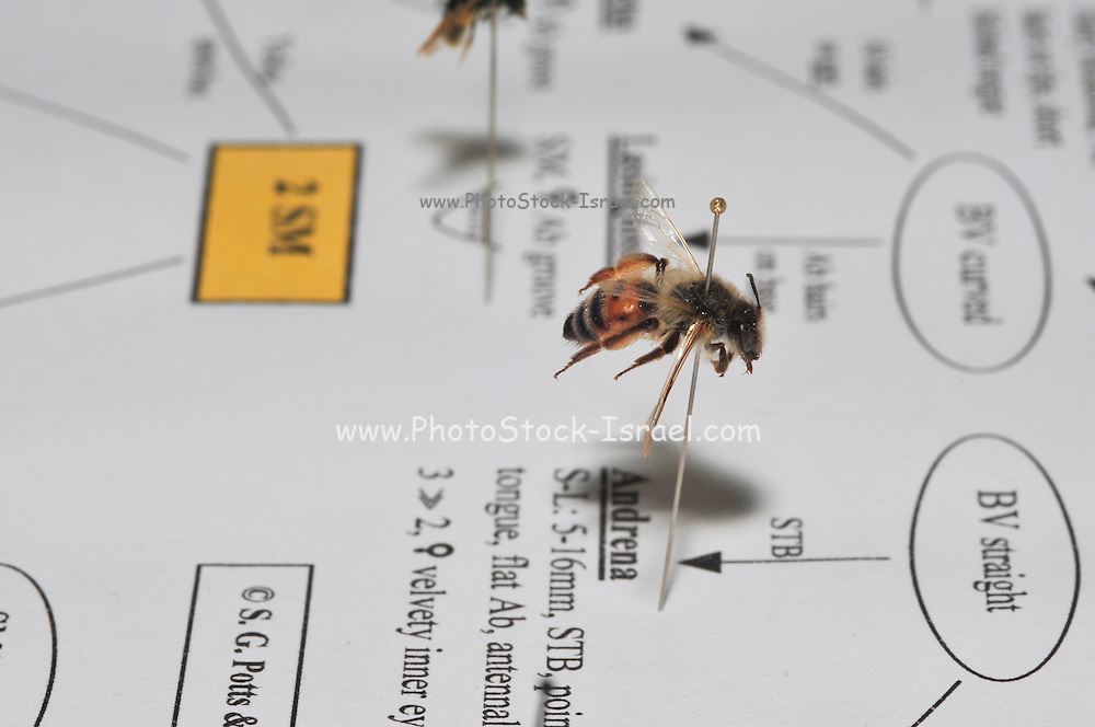 Israeli Wild Bee collection of different species - placed on a family relationship and identification chart - bees collected in Israel