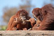 Sumatran Orangutan (Pongo abelii) in captivity