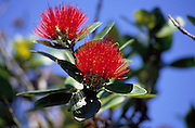 Ohia/Lehua, Hawaii Volcanoes National Park, Island of Hawaii, Hawaii, USA<br />