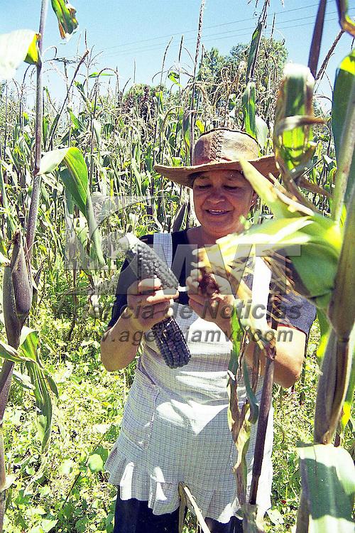 Villa de Allende, Méx.- Cosechando los primeros granos de maíz azul  de la temporada. Agencia MVT/ Mario B. Arciniega