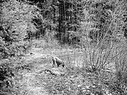 Sugar looking to bury bone in her mouth on the trail to Estes Lake
