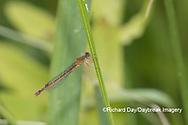 06061-00104 Eastern Red Damsel (Amphiagrion saucium) female Dent Co. MO