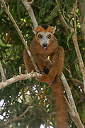 Red-fronted lemur (Eulemur rufifrons). Photographed in Madagascar