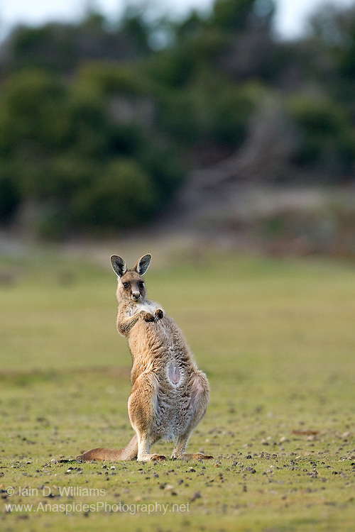 """Preening involves the kangaroo leaning back on its powerful tail and scratching itself with its front paws.  Also known as the Eastern Grey Kangaroo.  Breeding is mainly during the summer months.  The young stay within the pouch for 10 months and are weaned at 18 months, by which time the mother will have another """"joey"""" in the pouch"""