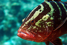Fishes-Caribbean & Gulf_Osteichthyemy  (under reconstruction, Pls search)